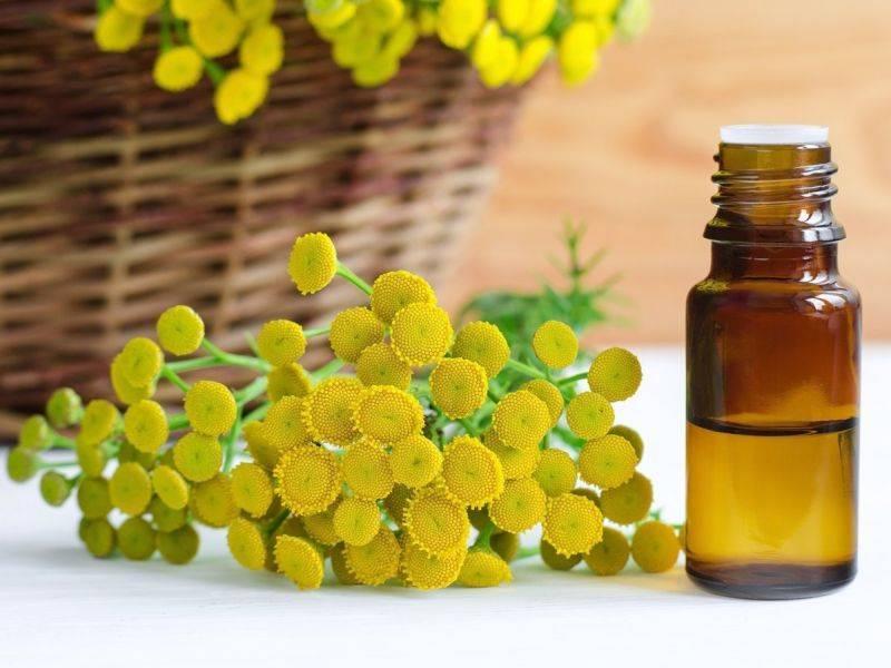 Пижма: полезные свойства и противопоказания растения. какими полезными свойствами наделена пижма, как ее применять