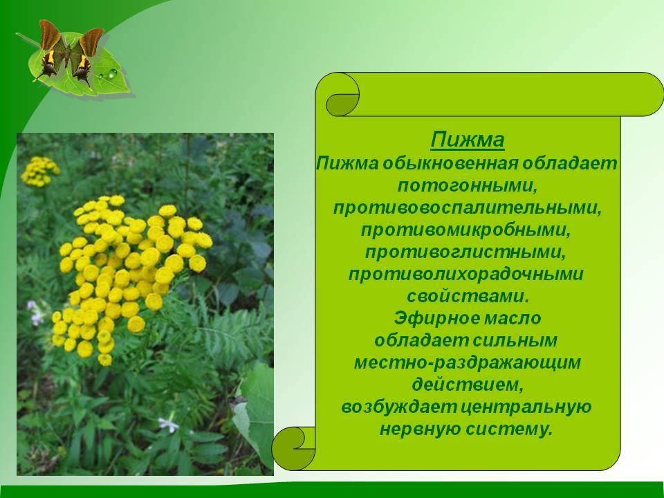 Пижма обыкновенная, цветки пижмы: описание, лечебные свойства растения