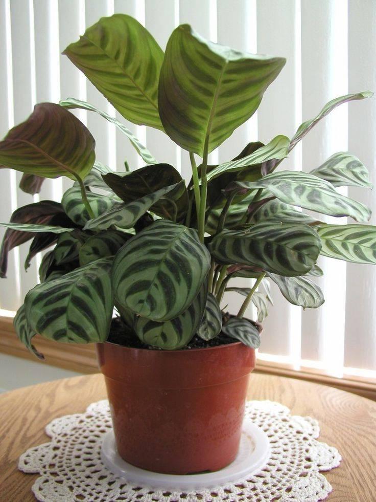 8 самых тенелюбивых комнатных растений. лучшие теневыносливые растения для дома. виды, описание, фото — ботаничка.ru