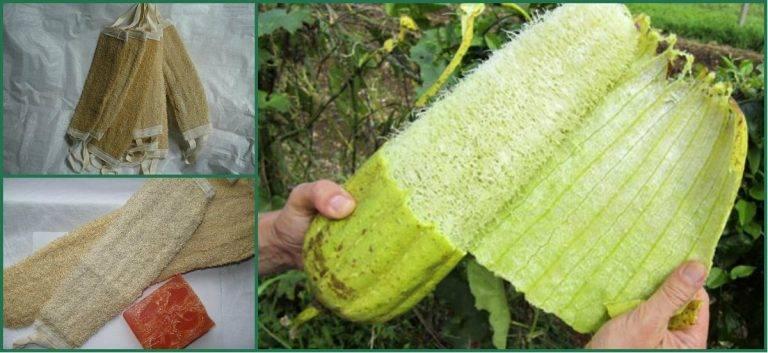 Люффа, как вырастить, приготовить в пищу и сделать натуральную мочалку