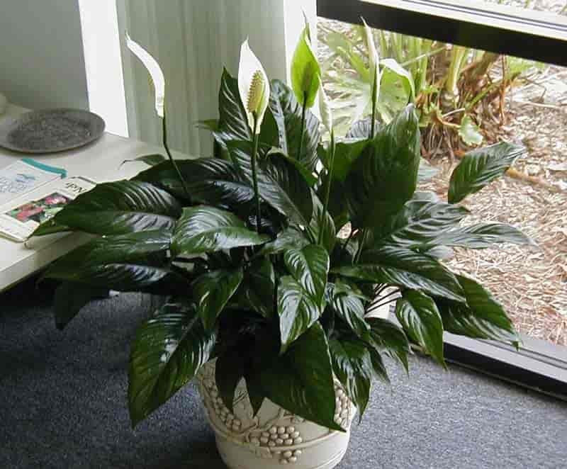 8 растений для тёмных комнат — описание и фото