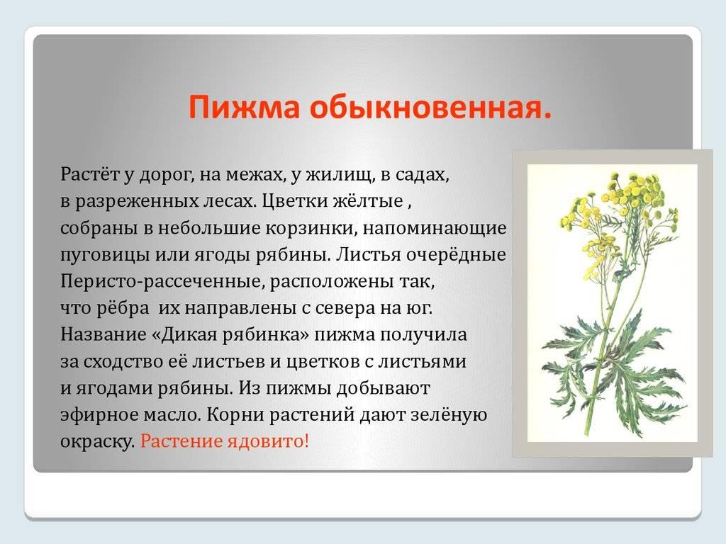 Пижма: лечебные свойства, противопоказания и применение в народной медицине
