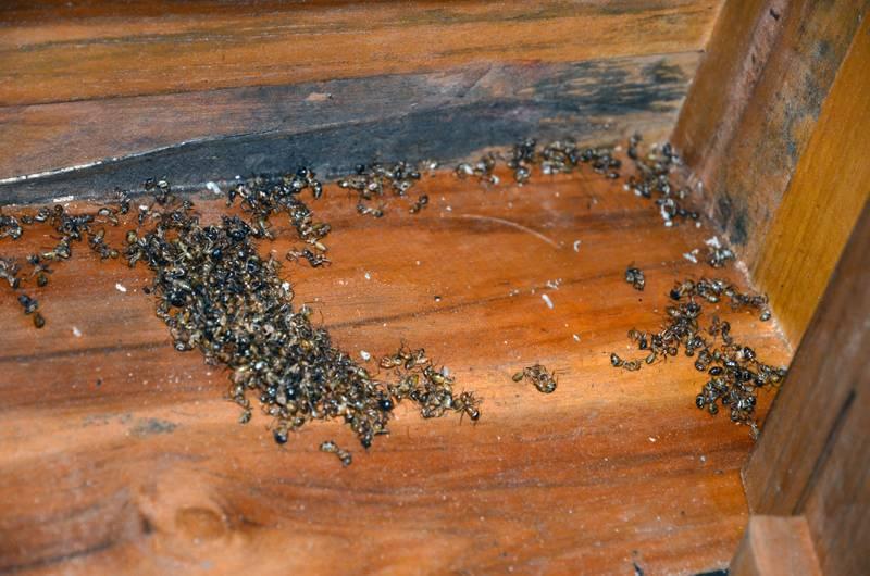 Как избавиться от рыжих муравьев в квартире с гарантией