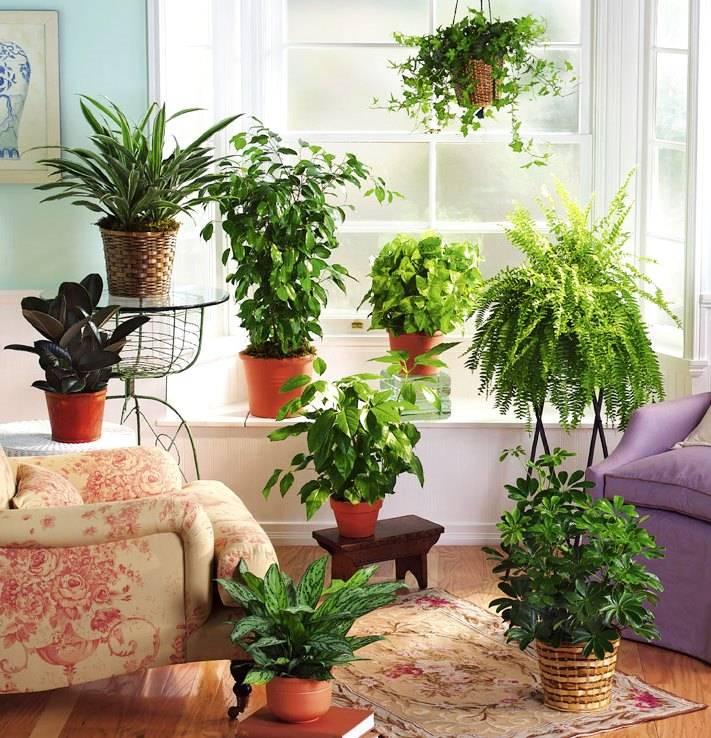 Комнатные растения для гостиной   топ-15 живых украшений с пользой для здоровья   (фото & видео)
