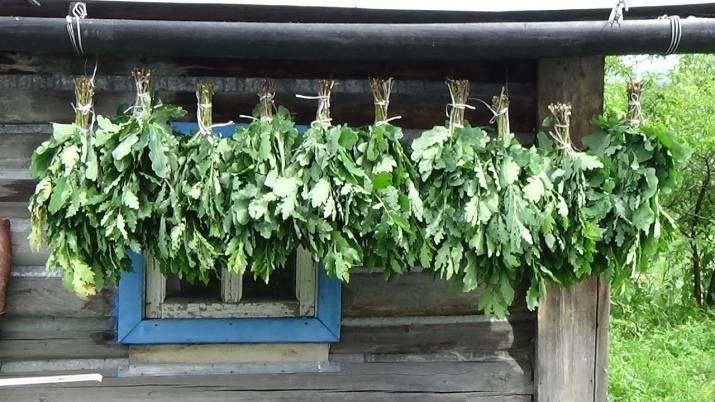 Когда заготавливать банные веники: заготовка, как вязать из березы, когда собирать березовые и дубовые веники, сроки, как правильно заготовить, когда вяжут, как готовить, фото и видео