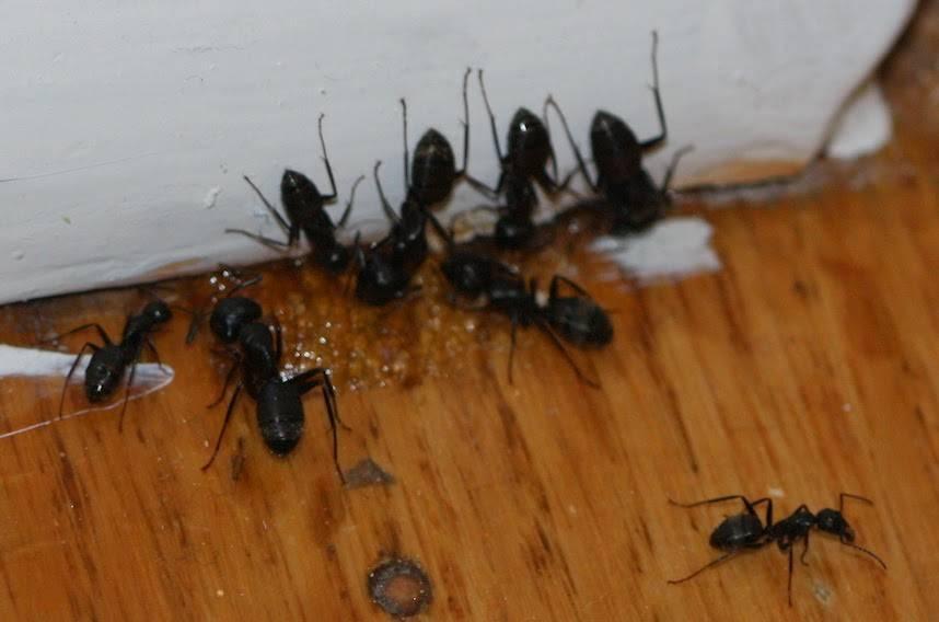 Как избавиться от муравьев в доме навсегда. средства для борьбы с муравьями